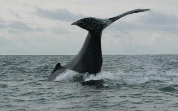 Les baleines à bosse en Colombie [Vidéo+Info].
